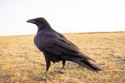 Black carrion crow and black raven, stands on the ground and looks, photo. Crow, bird and animal