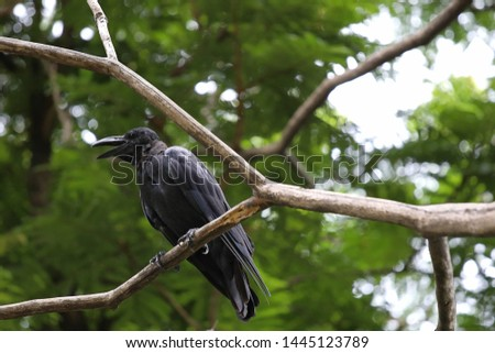 Black carrion crow (Corvus corone) perched on the branch.