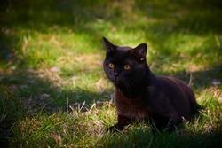 Black Cat Across Green Lawn on Hunt