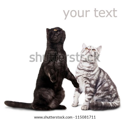 Black cat and white cat isolated on white & space for text