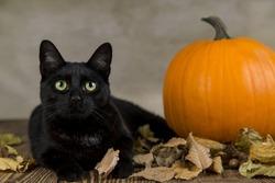 Black cat as a symbol of Halloween with orange pumpkin