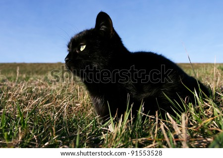 Black cat at sunset in the grass. Black domestic cat on the meadow is sneaking to hunt for prey