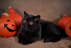 Black cat breed exotic with Halloween pumpkin on dark background.