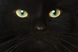 Black cat close-up portrait