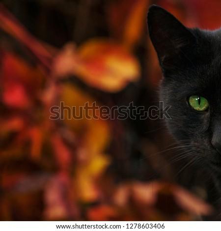 Black Cat, Domestic Cat #1278603406