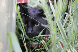 Black cat hiding behind the grass