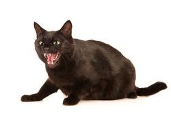 Black cat hisses, isolated on white