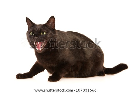 Black cat hisses, isolated on white