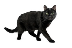 Black cat is standing with a scared look. Shooting in studio. Black cat breed of Bombay is isolated on white background