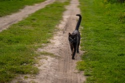 Black cat is walking outside. Close up view. Green grass around the country road.