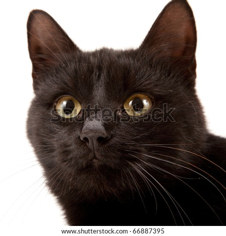 Black cat isolated on a white background