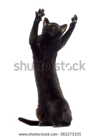 Black cat kitten playing on his hind legs and pawing up, isolated on white