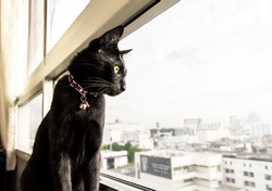Black cat look out of the condominium window to see view in Bangkok city.