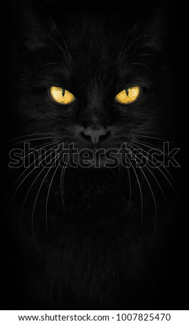 Black Cat looking at the camera, Close-up cat portrait. fiery glance