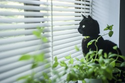 Black cat looking through venetian blinds.