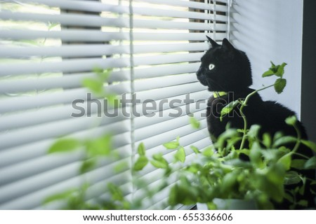 Black cat looking through venetian blinds. #655336606