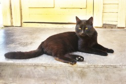 Black cat lying on the porch near the door, outside in the summer sun and looks. She has fluffy fur, green eyes and long white whiskers.