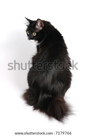 black cat of kuril bobtail breed