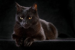 black cat on dark background domestic animal mysterious patient and curious sometimes spooky and evil brings bad luck Halloween kitten is patiently looking staring at night to catch a prey copy space