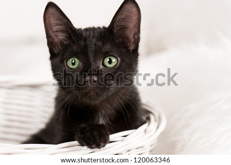 black cat on the white background