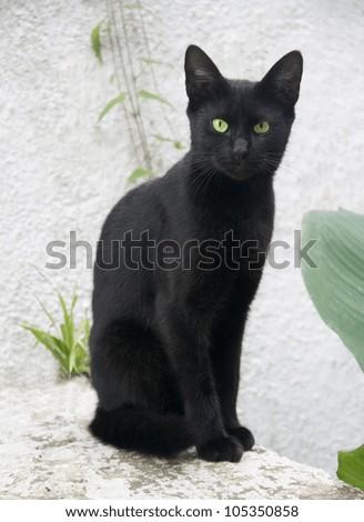 Black cat on white background
