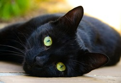 Black cat Portrait. Face closeup of a cute male of European Domestic Cat (Felis catus) sitting on the ground, with dark black fur, black nose, whiskers and bright yellow green eyes.