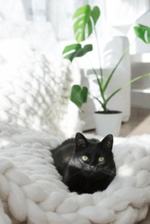 Black cat relaxing on white knitted merino plaid, enjoying warm and soft super chunky yarn blanket, cozy home and hygge trendy concept, monstera plant on background