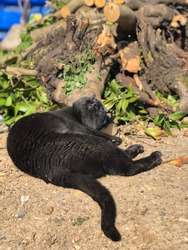 Black cat rolling in the dirt enjoying some sun with chopped wood in background