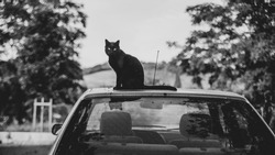Black cat sitting on the roof of a car, black and white