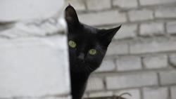 black cat spying