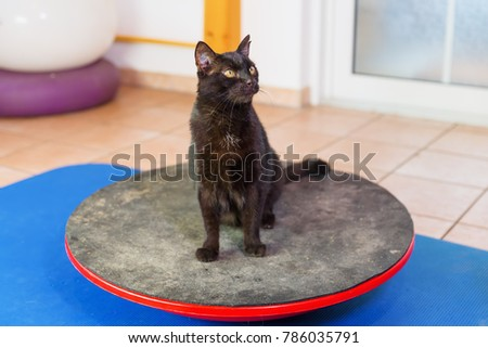 black cat stands on a wobble board in an animal physiotherapy office