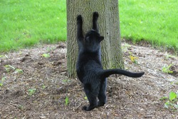 Black Cat stretching and sharpening its claws on a tree in yard
