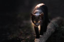 Black cat walking down the street