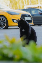 Black cat, which are living in car parking