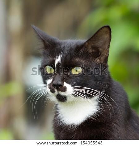 Black cat, white long beard beautiful.