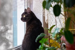 Black cat with green eyes sitting on windowsill and looking out window in surprise near green house plants. Cat at domestic comfort