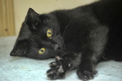 black cat with yellow eyes lies