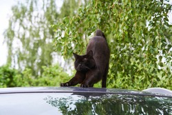 Black cat with yellow eyes on roof of car with greenery background
