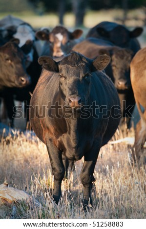 Black cattle staring at camera