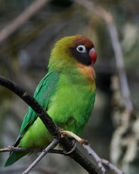 Black-cheeked lovebird (Agapornis nigrigenis) in its natural enviroment
