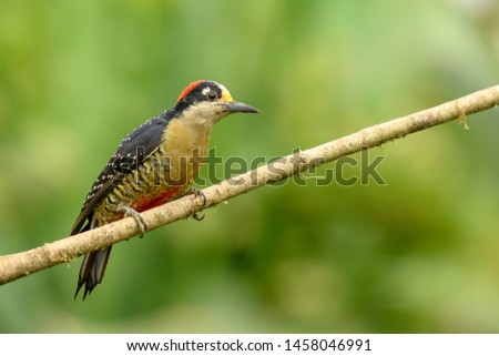 Black-cheeked Woodpecker - On a Perch