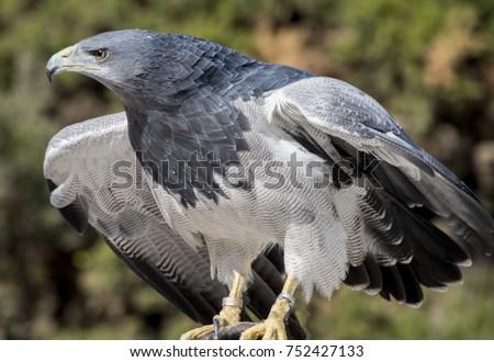Shutterstock Black-chested buzzard-eagle  Chilean blue eagle