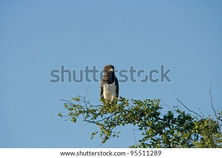 Black-chested Snake-Eagle (Circaetus pectoralis) photographed in Kruger National Park, South Africa - stock photo