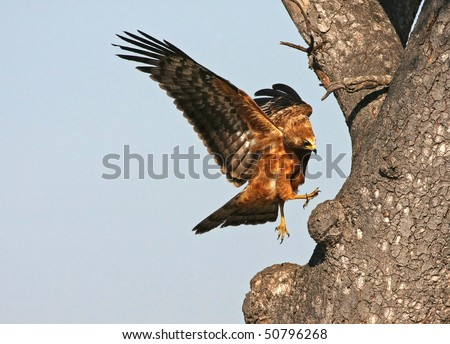 Black-chested snake eagle hunting