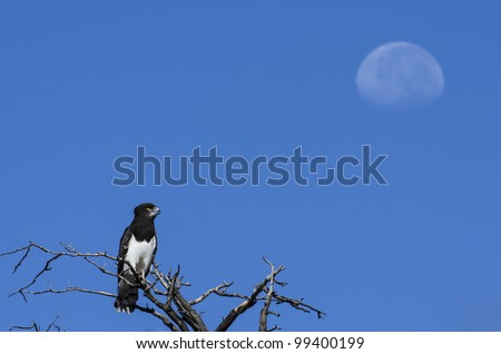 Black Chested Snake Eagle looking at the moon in daylight in Kgalagadi