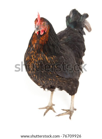 Black Chicken on White Background