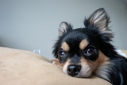 black chihuahua dog is sleeping on a pillow