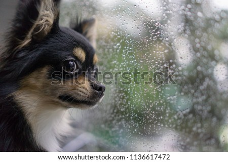 black chihuahua dog looked out the window while it was raining.