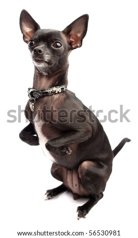 black chihuahua isolated