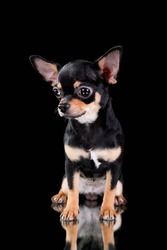 black chihuahua puppy on a black background